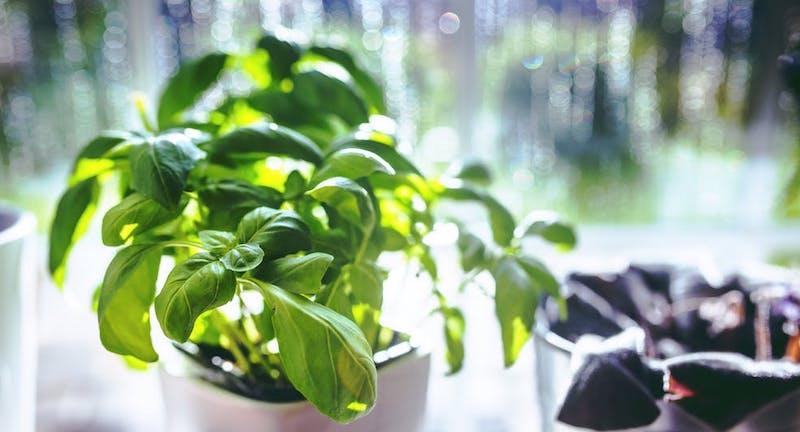 Photo of Il segreto del contadino: ecco come far crescere un cespuglio rigoglioso di basilico