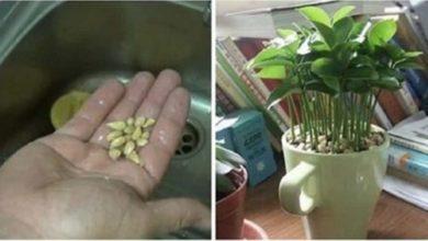 Photo of Come piantare il limone in una tazza per decorare e profumare la tua casa