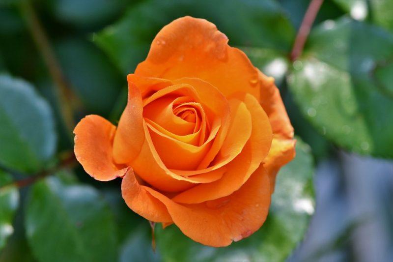 La rosa per il mese di marzo e giugno