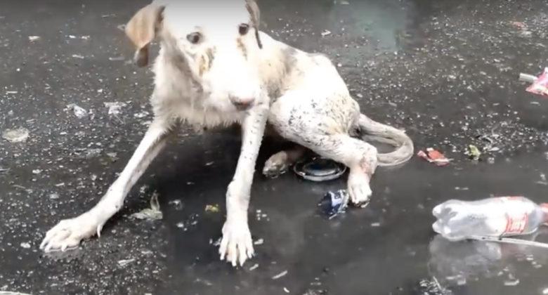 Randagio ferito guaisce in una pozzanghera sporca