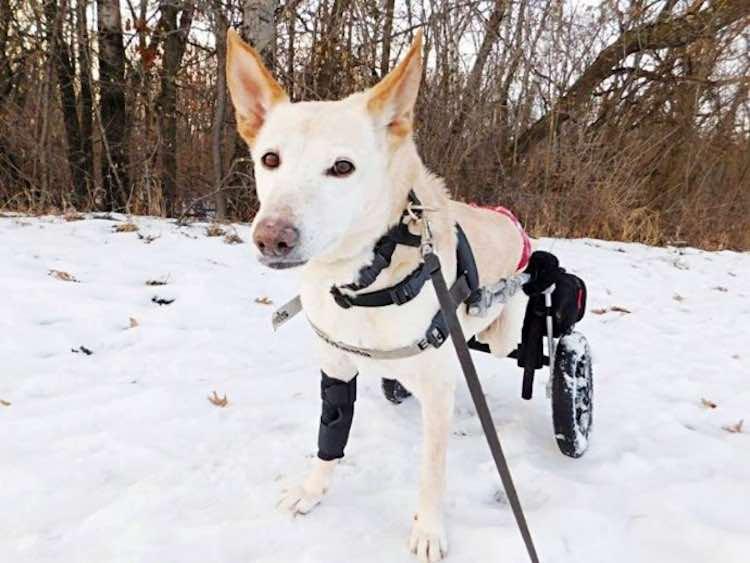 Cane paralizzato e abbandonato
