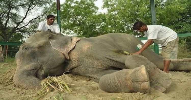 L'elefante piange durante il salvataggio