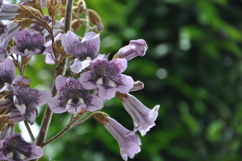 Albero Imperatrice fioritura