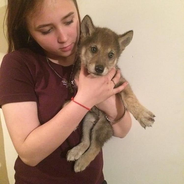 Seryi il cucciolo di lupo addomesticato