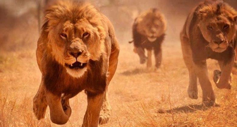 bracconieri leoni