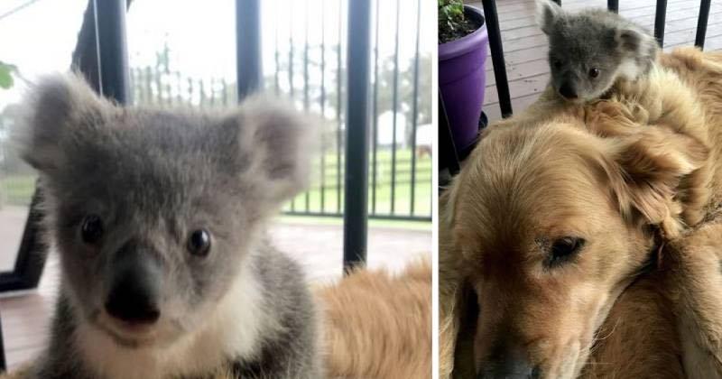 cane ha salvato un koala