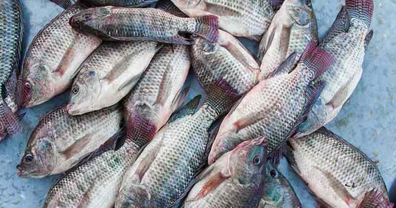 pesce Tilapia