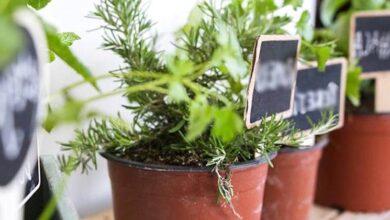Photo of Come piantare a casa le erbe aromatiche. Rosmarino, prezzemolo e menta