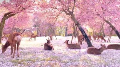 Photo of Senza turisti i cervi riposano sotto la pioggia di petali di ciliegio in Giappone