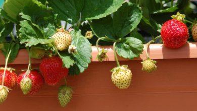 Photo of La guida su come coltivare le fragole partendo dal frutto