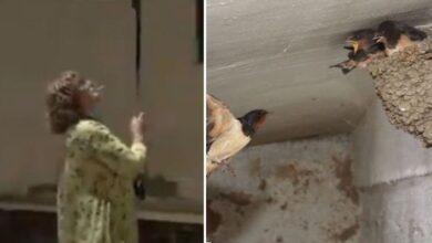 Photo of Una donna sorpresa a distruggere 50 nidi di rondine con una scopa è stata arrestata