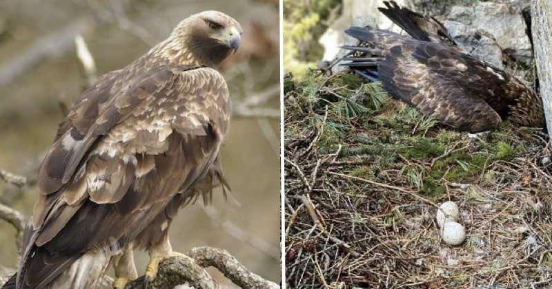 Aquila reale uccisa nel suo nido