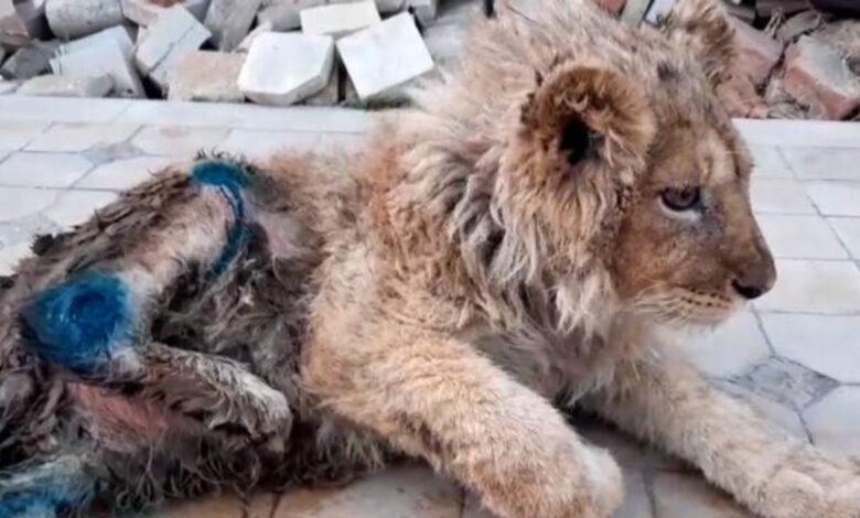 Spezzano le gambe al cucciolo di leone per tenerlo fermo durante i selfie