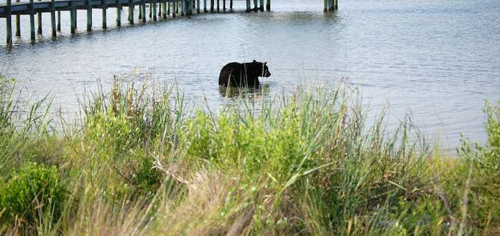 Orso in acqua