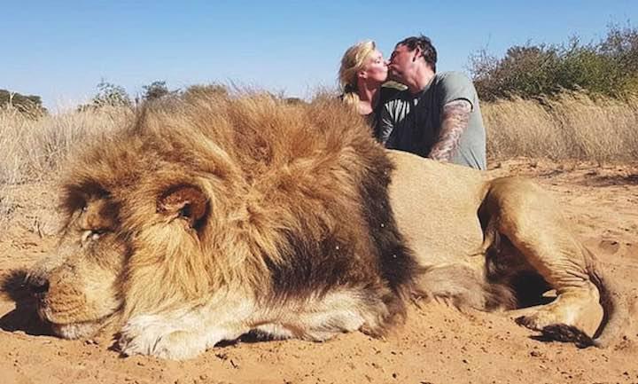 leoni allevati in cattività per essere abbattuti