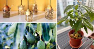 Come coltivare avocado in vaso